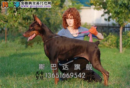 四川犬舍杜宾低价出售幼犬待售全国发货