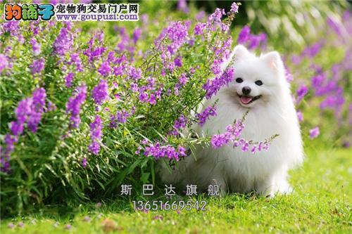 四川犬舍博美出售小包纯种全国发货