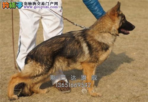 四川最大犬舍德牧顶级双血统全国发货