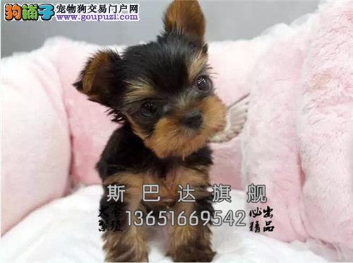 四川最大犬舍约克夏纯种超萌全国发货
