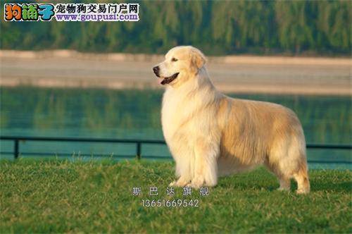 出售纯种 大骨架金毛犬保证健康3个月退换