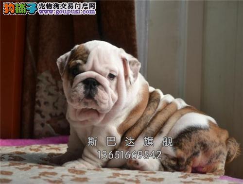 四川哪里有英牛赛级狗狗下单有礼全国发货