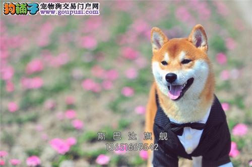 四川犬舍秋田精品帅气美系犬全国发货