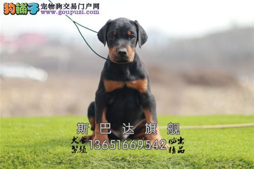 四川出售杜宾好养听话灵性警卫犬全国发货