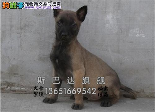 四川家养马犬小服从性好驱虫已做全国发货