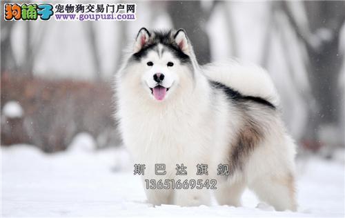 四川出售阿拉斯加自家养新生小犬全国发货