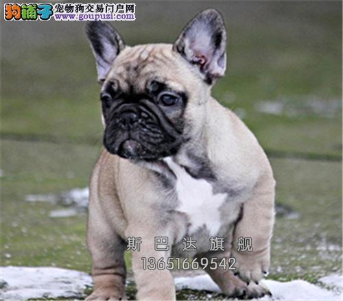 四川法牛顶级漂亮机智犬双血统全国发货