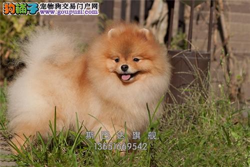 养殖场出售<博美犬> 上门挑选 当日下单半价!!