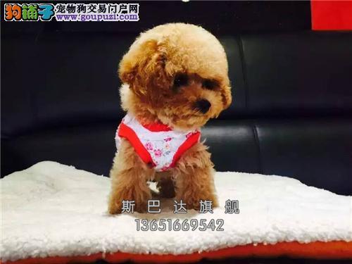 四川家养泰迪乖巧小体保健康全国发货