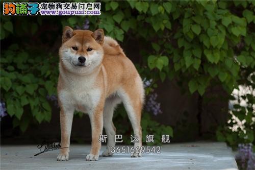 犬舍出售<秋田犬> 上门挑选 当日下单半价!