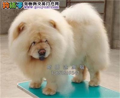 四川松狮专业繁殖肉嘴幼犬全国发货