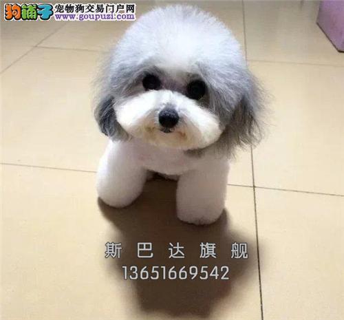犬舍出售<泰迪犬> 上门挑选 当日下单半价!