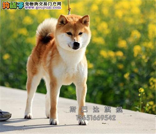 养殖场出售<柴犬> 上门挑选 当日下单半价!!