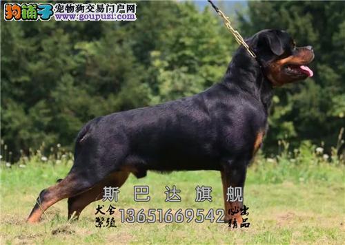 四川杜宾极品精品小犬幼犬待售全国发货