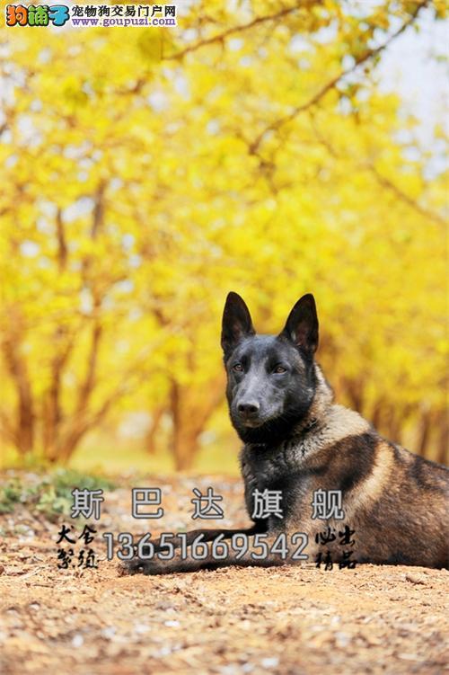 四川马犬精品比利时可视频挑选全国发货