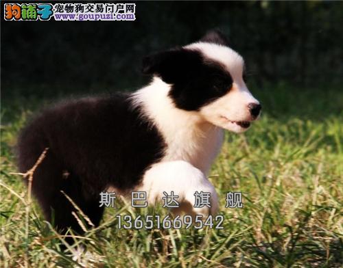 四川边牧高品质咖啡色幼犬包纯种全国发货