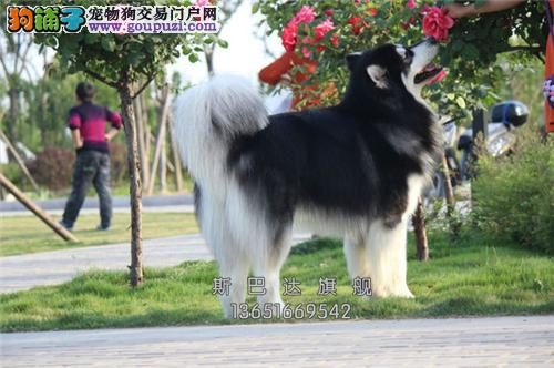 犬舍出售<阿拉斯加犬> 上门挑选 当日下单半价!
