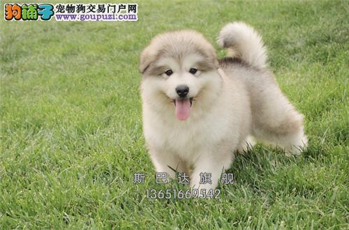 江苏阿拉斯加巨型犬全国发货