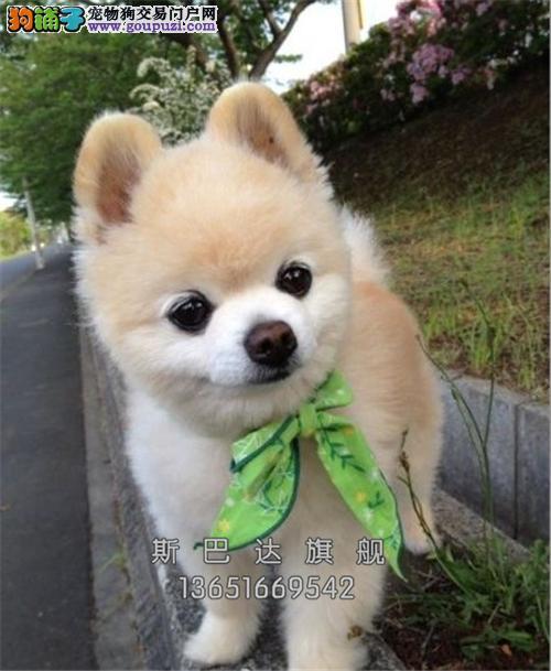 江苏哪里有博美小狗狗幼犬待售全国发货