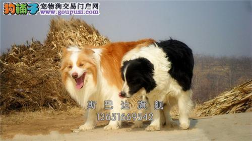 江苏边牧出售出售下单有礼全国发货