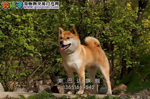 犬舍直销 日本秋田犬 可上门 有公母健康有保障