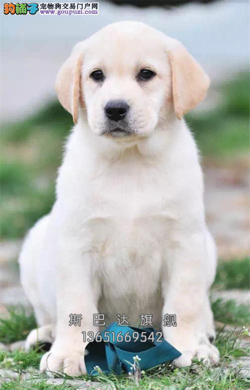 犬舍直销 拉布拉多犬 可上门 有公母健康有保障
