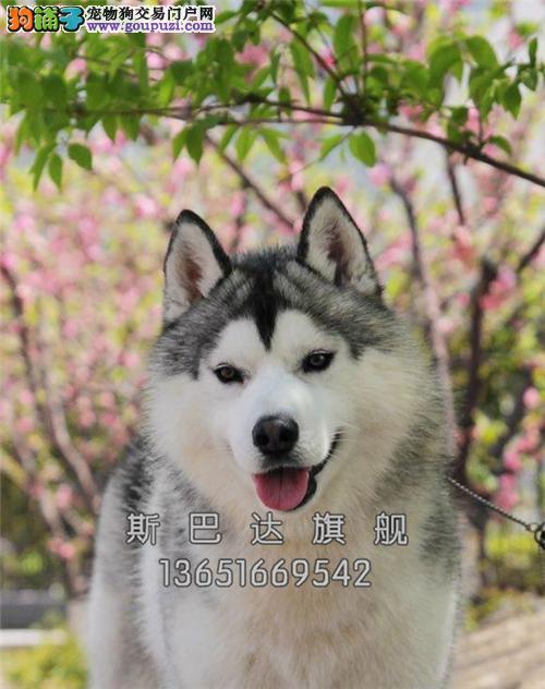 江苏哈士奇乖巧骨量足幼犬待售全国发货