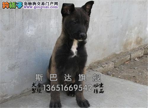 江苏正规犬舍马犬赛级出售全国发货