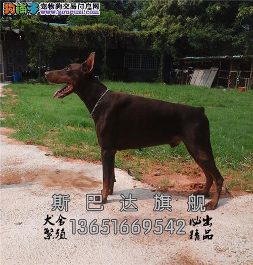 江苏本地出售杜宾乖巧犬全国发货