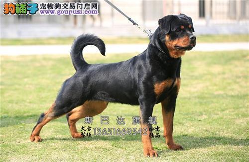 江苏哪里有罗威纳极品高品相犬全国发货