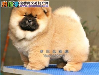江苏犬舍松狮新生紫舌犬公母均有全国发货