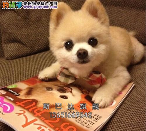 江苏本地出售博美袖珍幼犬全国发货
