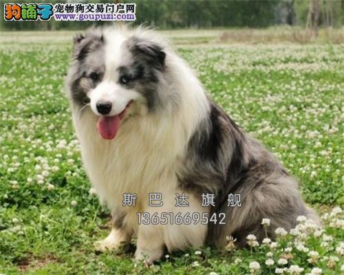 江苏家养边牧可爱纯种幼犬全国发货