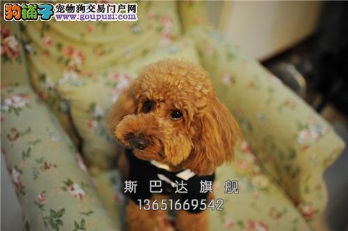 江苏家养泰迪漂亮双血统保健康全国发货