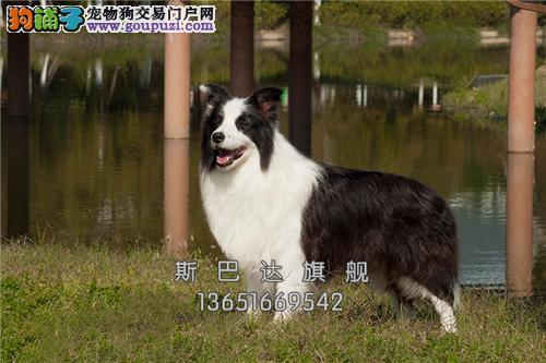 江苏犬舍边牧顶级漂亮小双血统全国发货