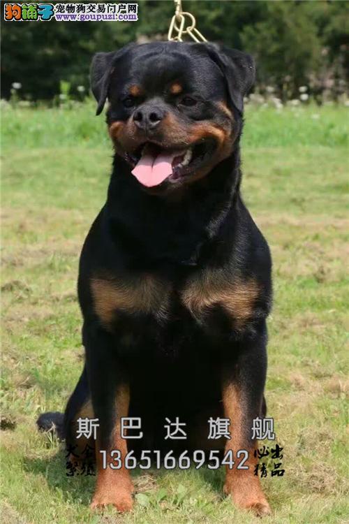 江苏出售罗威纳帅气好养护卫犬全国发货