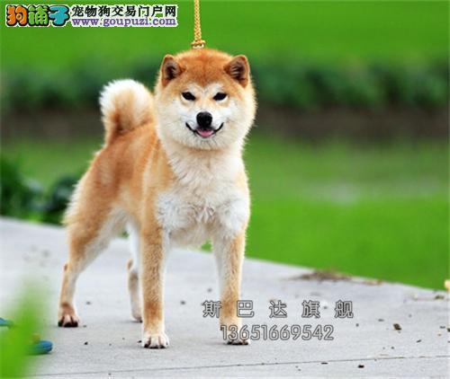 江苏柴犬赛级极品懂事犬疫苗已做全国发货