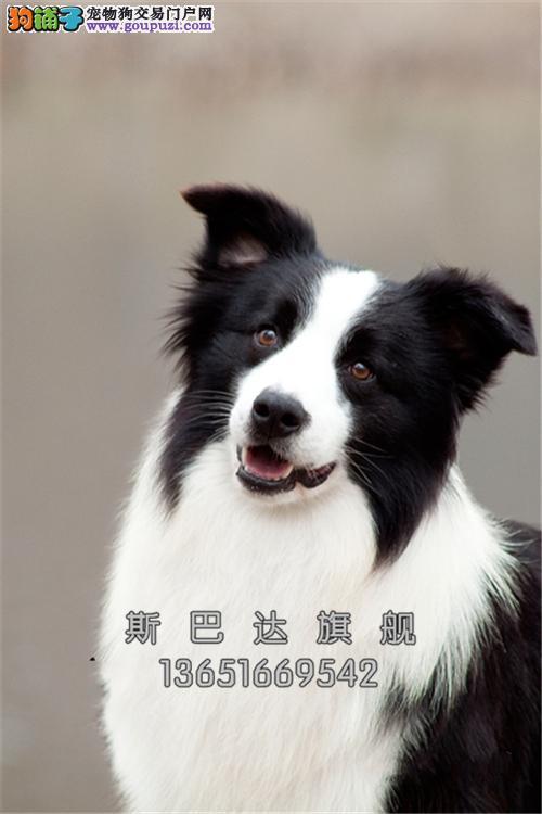 诚信犬业出售 纯正边境牧羊犬 当日下单半价