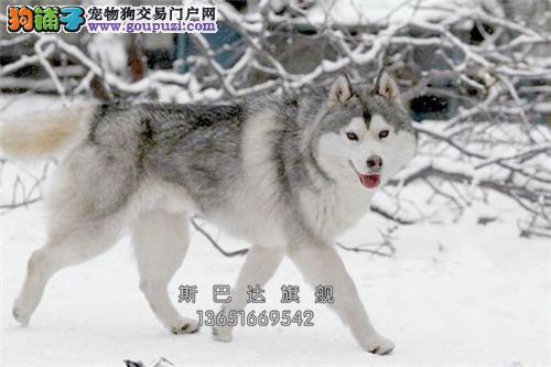 出售 西伯利亚哈士奇幼犬 高品质正中雪橇犬