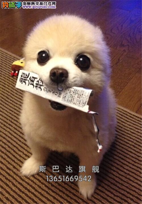 浙江博美赛级小白雪公主带证书全国发货