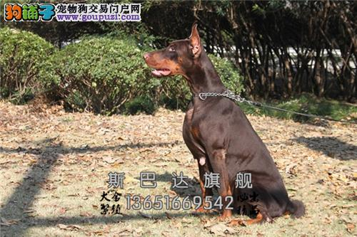 浙江出售杜宾聪明乖巧三个月犬全国发货