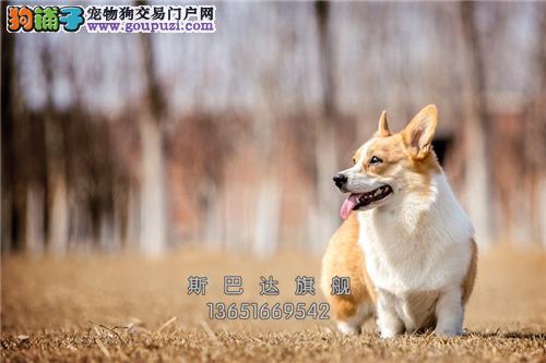 浙江出售柯基专业繁殖赛级带证书全国发货