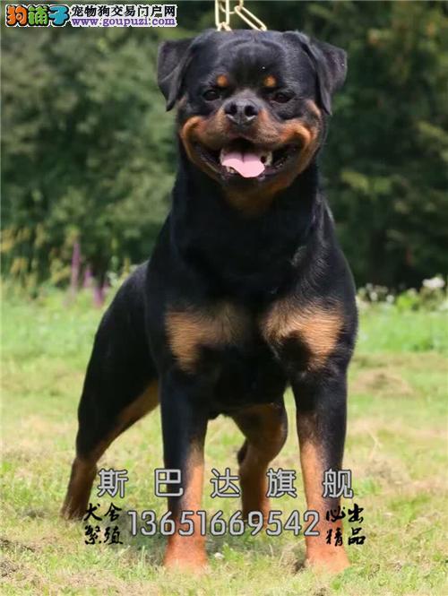 诚信犬业出售 纯正罗威纳犬 当日下单半价