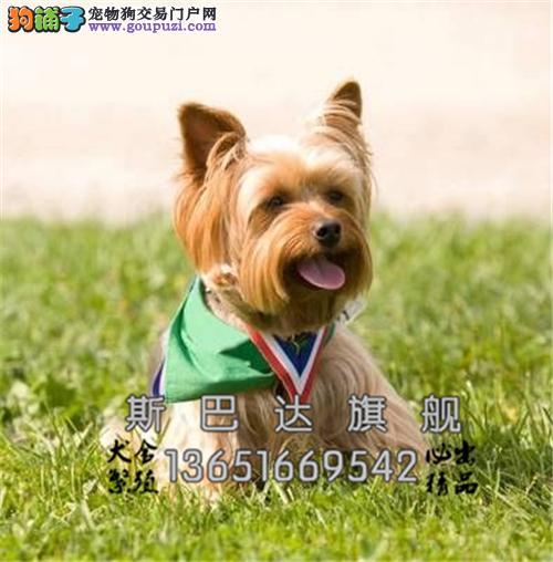 cku认证出售约克夏犬 保质量 包纯种