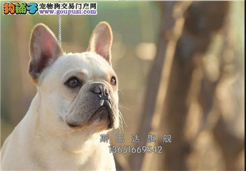 犬舍售 超纯法国斗牛犬   健康品质保证