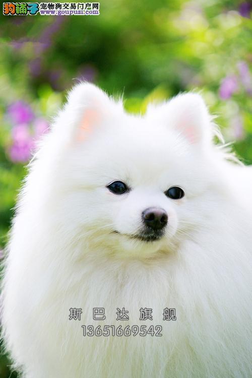 诚信犬业出售 纯正博美犬 当日下单半价