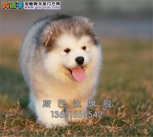 浙江阿拉斯加熊版幼犬幼犬待售全国发货