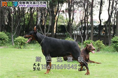 浙江哪里有杜宾新生德系幼犬待售全国发货