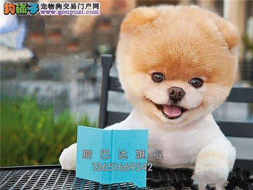 重庆本地出售博美袖珍幼犬全国发货
