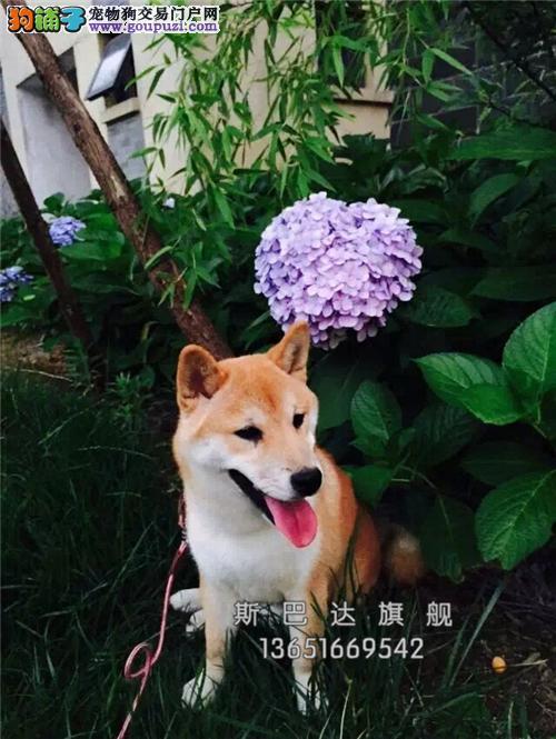 浙江犬舍柴犬出售赛级憨厚狗狗全国发货